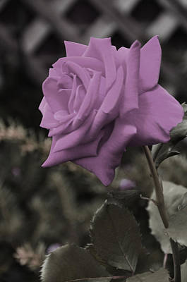 Lilac Rose Art Print by Vijay Sharon Govender