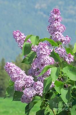 Photograph - Lilac Splendor by Frank Townsley