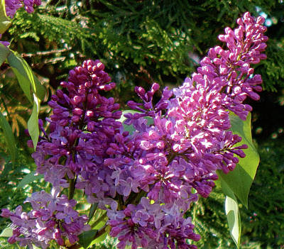 Photograph - Lilac Spring by Wild Thing