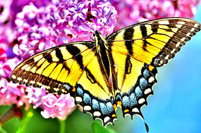 Photograph - Lilac Swallowtail by Emily Stauring
