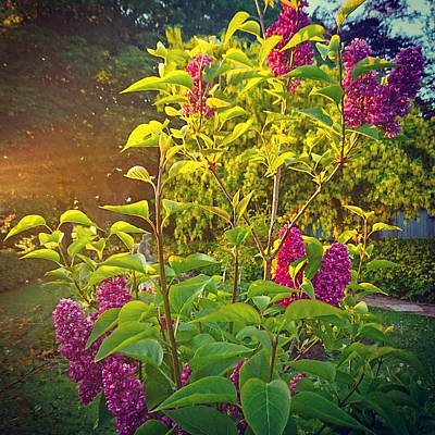 Photograph - Lilac Tree by Samuel Pye