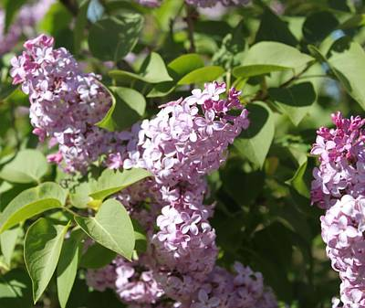 Photograph - Lilacs 5544 by Antonio Romero