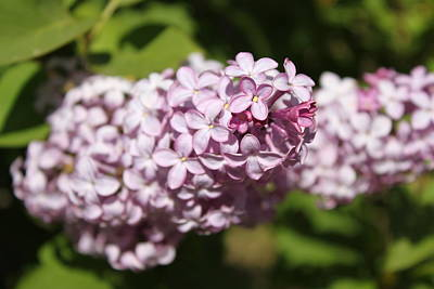 Photograph - Lilacs 5549 by Antonio Romero