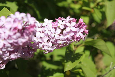 Photograph - Lilacs 5550 by Antonio Romero