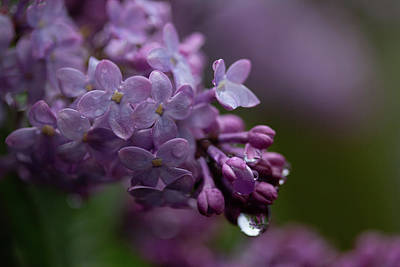 Photograph - Lilacs After Rain by Marie Leslie
