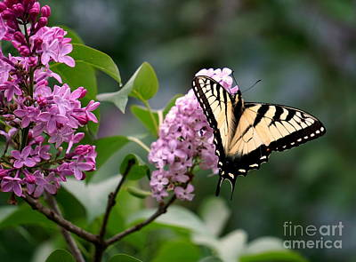 Photograph - Lilacs And Butterflies by Brenda Bostic