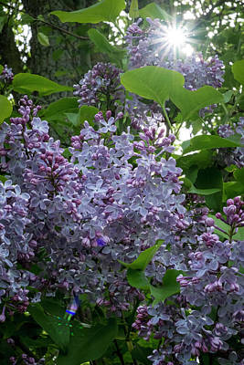 Photograph - Lilacs And Sunshine by Mary Lee Dereske
