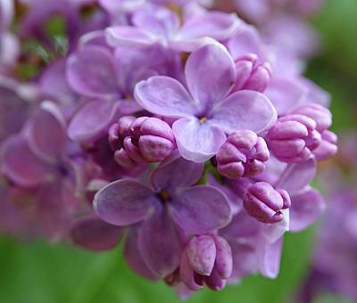 Photograph - Lilacs Are Springtime by Lori Pessin Lafargue