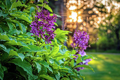 Photograph - Lilacs at Sunrise by Ray Sheley
