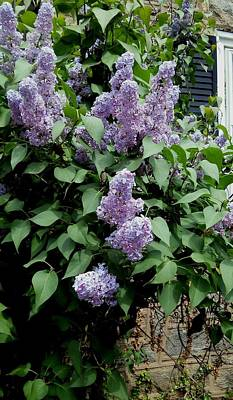 Painting - Lilacs By My Window by Vickie G Buccini