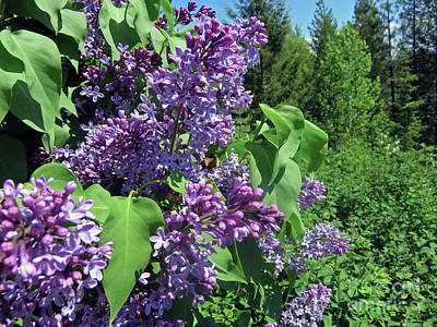 Photograph - Lilacs by Cindy Murphy - NightVisions