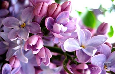 Photograph - Lilacs by Cindy Schneider