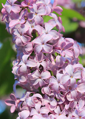 Lilacs Photograph - Lilacs Closeup by Carol Groenen