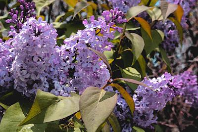 Photograph - Lilacs II by Lynne Guimond Sabean