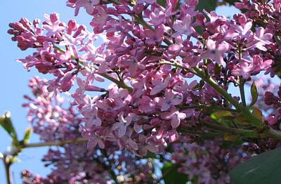 Lilacs In Bloom 2 Art Print by Barbara Yearty