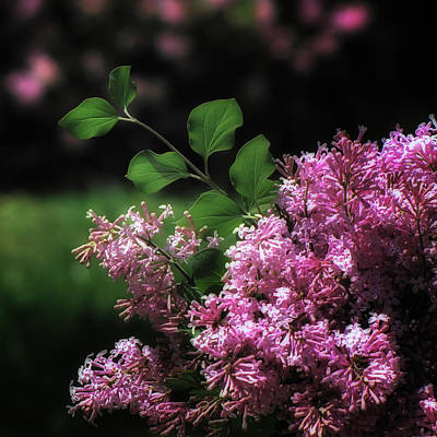 Photograph - Lilacs In Bloom by Betsy Foster Breen