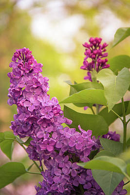 Photograph - Lilacs In Evening Glow by Joni Eskridge