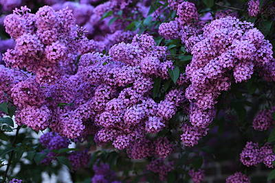 Photograph - Lilacs In The Morning by Lynn Hopwood