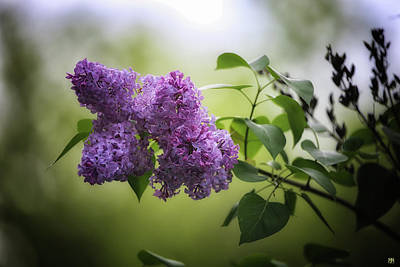 Photograph - Lilacs by John Meader