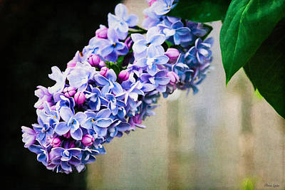 Photograph - Lilacs Lovely by Anna Louise