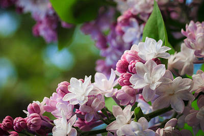Lilacs Of Spring Art Print