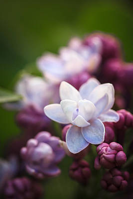 Photograph - Lilacs Of Spring Macro by Joni Eskridge