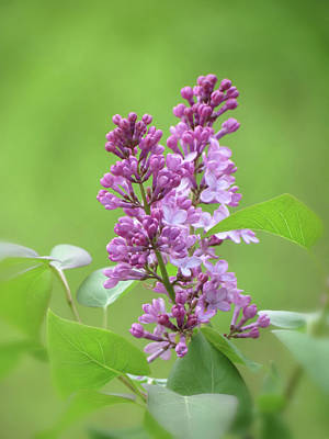 Photograph - Lilacs On Green by MTBobbins Photography