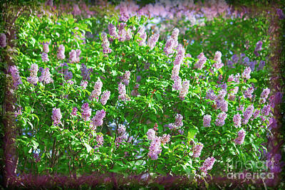 Photograph - Lilacs Prince's Island by Donna L Munro