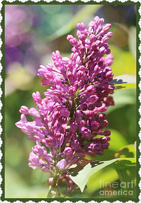 Lilacs And Flowers Photograph - Lilacs With Bokeh And Border by Carol Groenen