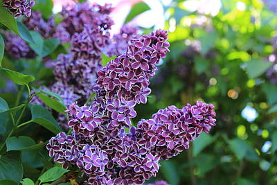 Photograph - Lilacs With Bokeh by Lynn Hopwood