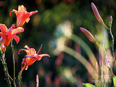 Photograph - Lilies Bloom In The Forest by Ron Tackett