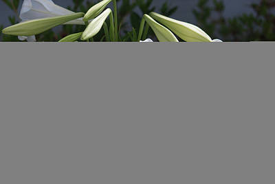 Photograph - Lilies From Years Gone By by Suzanne Gaff