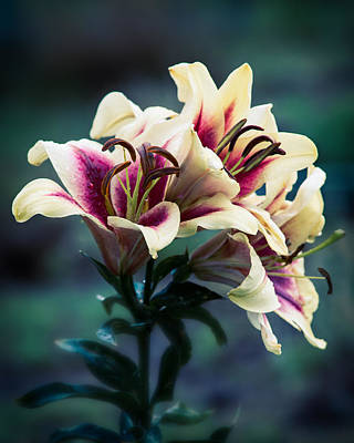 Photograph - Lilies In Evening by John Brink