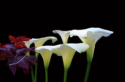 Photograph - Lilies In Spring by Aidan Moran
