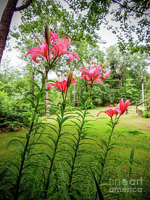 Photograph - Lilies In The Pink by Mim White