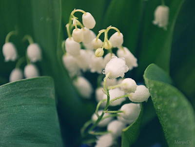 Photograph - Lilies Of The Valley by Marija Djedovic