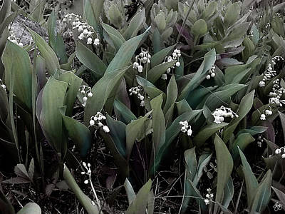 Photograph - Lilies Of The Valley No 1 by Wayne King