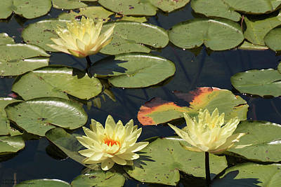 Photograph - Lilies On The Pond by Hany J