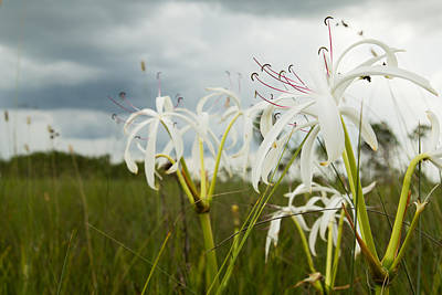 Photograph - Lilies Thunder by Christopher L Thomley