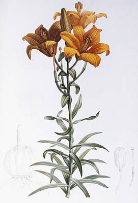 Flora Drawing - Lilium Bulbiferum by Pierre Joseph Redoute