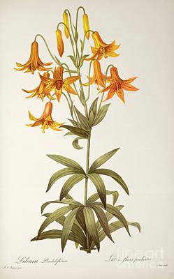 Engraving Painting - Lilium Penduliflorum by Pierre Joseph Redoute