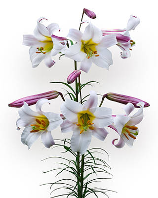 Photograph - Lilium Regale by Jane McIlroy
