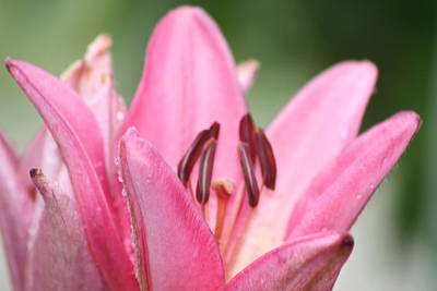 Lillies Art Print by Angie  Wise