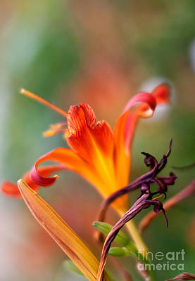 Stem Photograph - Lilly Flowers by Nailia Schwarz