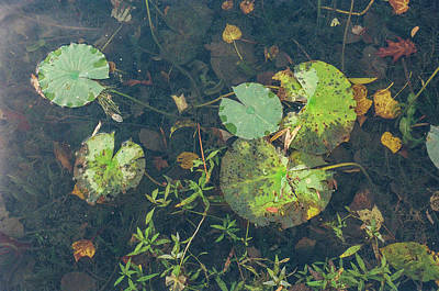 Photograph - Lilly Pad Close Up  by John McGraw