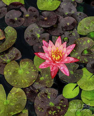 Photograph - Lilly Pad, Red Lilly by Toma Caul