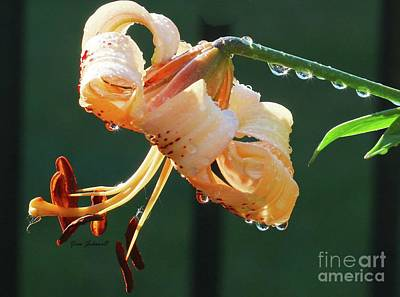 Photograph - Lilly With Droplets by Yumi Johnson