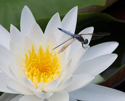 Lily And Dragonfly Art Print