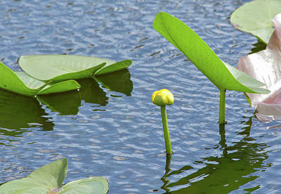 Photograph - Lily And Pads On Breezy Day by William Tasker