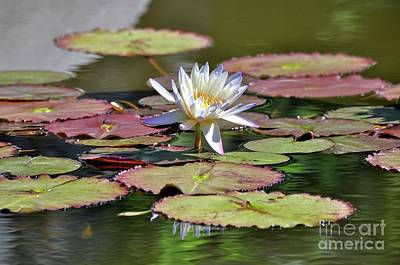 Photograph - Lily At The Pond by Savannah Gibbs